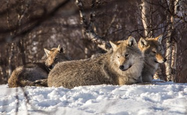 Wolves in Norway (Copyright: Christopher D. Allsop)
